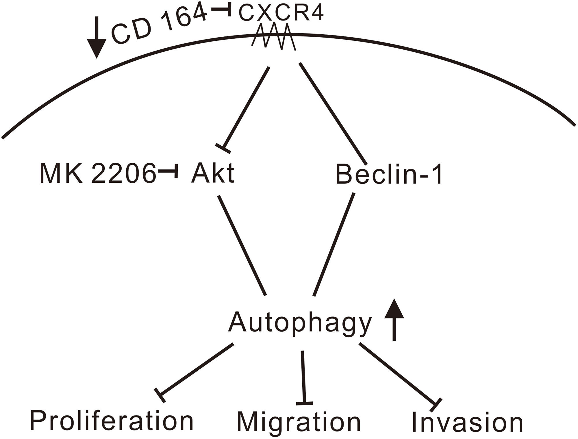 Schematic model of signaling pathways affected by CD164 in GBM.