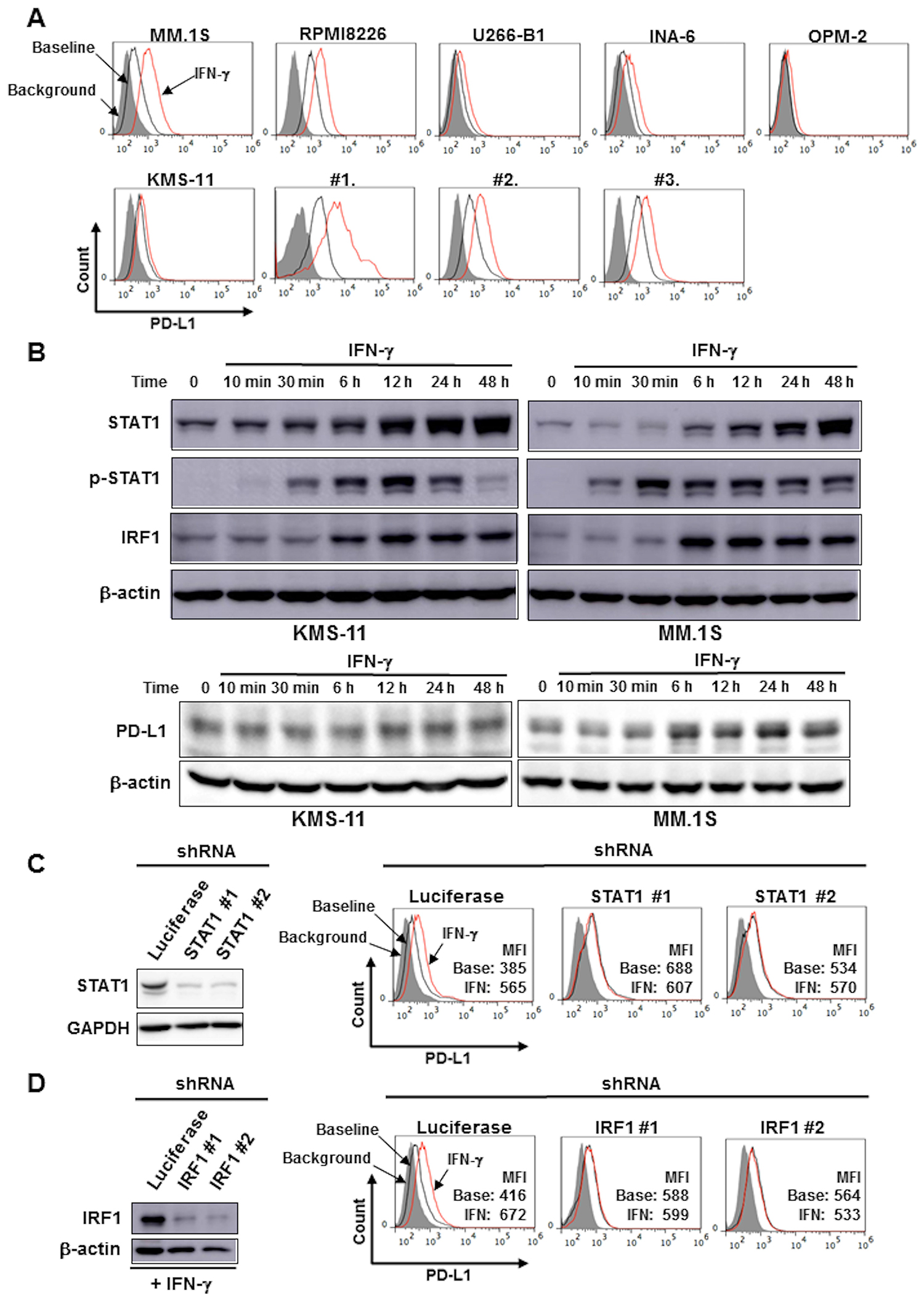 IFN-γ increased PD-L1 expression on MM cells via the STAT1-IRF1 signaling pathway.