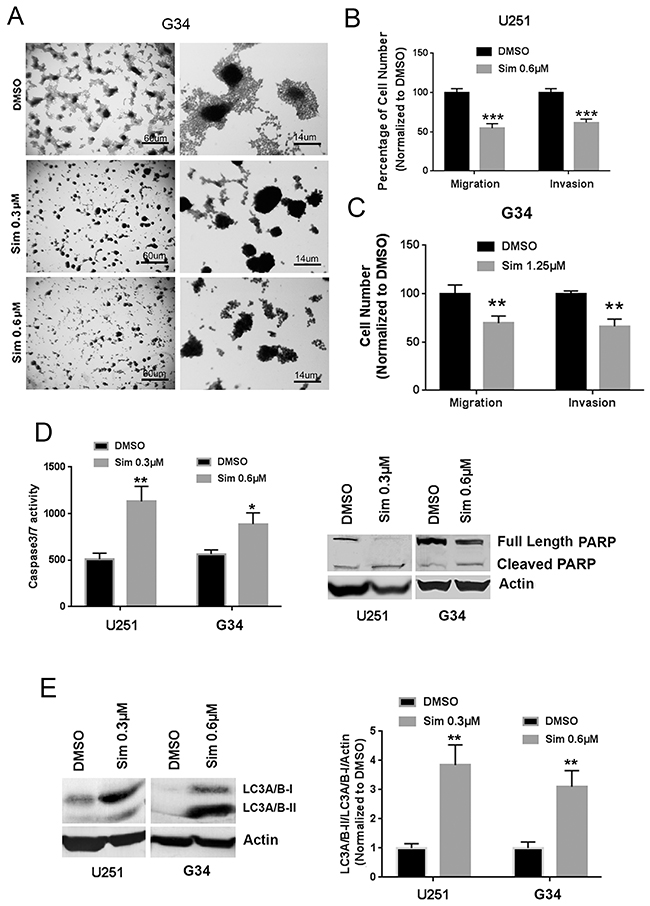 Simvastatin reduces migration and invasion and induces apoptosis and autophagy in GBM and GICs.