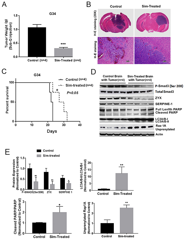 Simvastatin prolonged survival, inhibited TGF-β signaling and prenylation, and induced apoptosis and autophagy in vivo.