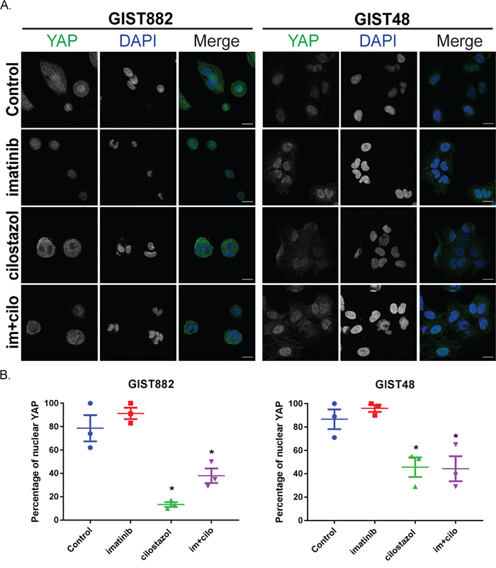 Cilostazol, but not imatinib, leads to YAP nuclear exclusion in imatinib-sensitive GIST882 and imatinib-resistant GIST48 cells.