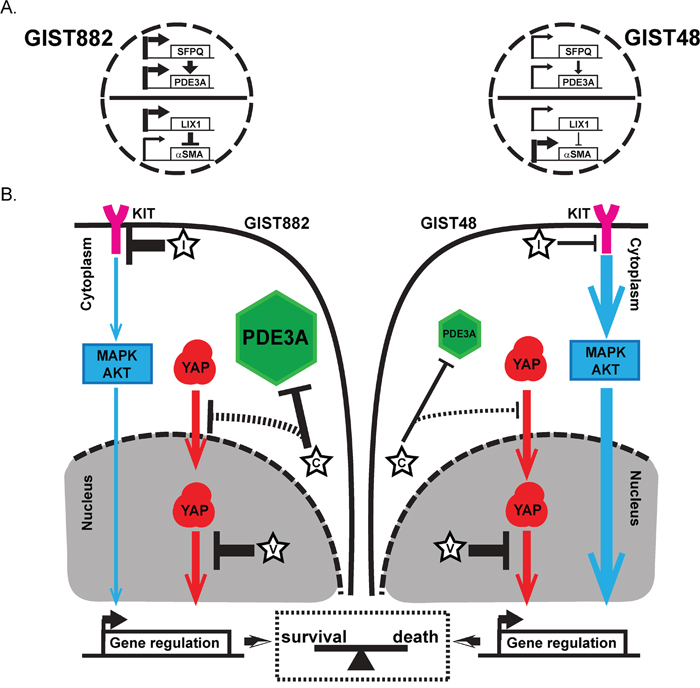 Regulation of differentiation genes expression and a model for dual survival pathways and addiction to YAP in GIST882 and GIST48 cells.