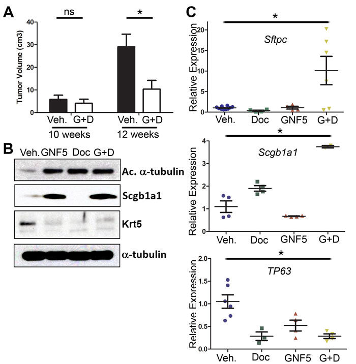 Combination treatment of GNF5 and docetaxel induces lung tumor cell differentiation