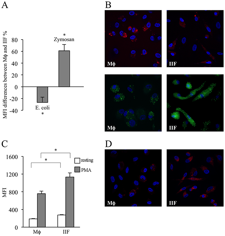 Evaluation of phagocytic ability and ROS production in differentiated cells.