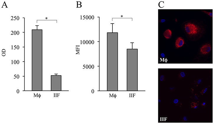 Evaluation of MTT metabolism and mitochondrial amount in differentiated cells.