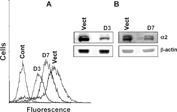 Transduction of SK-Mel-147 cells with α2-specific shRNA effectively inhibits expression of α2β1 integrin.