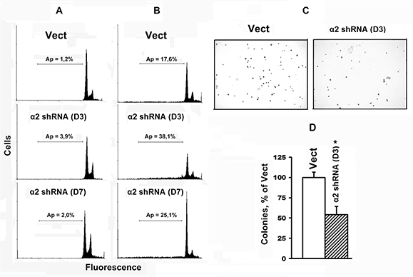 Transduction with α2 shRNA increases anoikis of SK-Mel-147 cells.