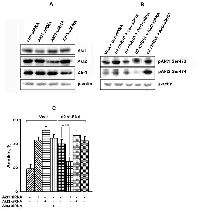 Effect of Akt isoform knockdown on anoikis of SK-Mel-147 cells.