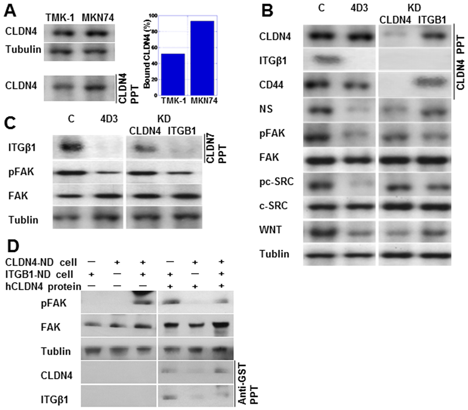 4D3 treatment inhibited the interaction between CLDN4 and integrin β1 (ITGβ1).