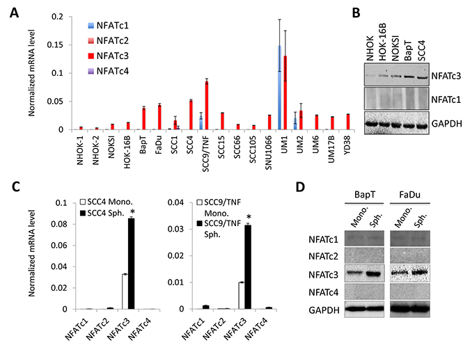 NFATc3 is increased in OSCC and further enriched in OSCC tumor spheres.