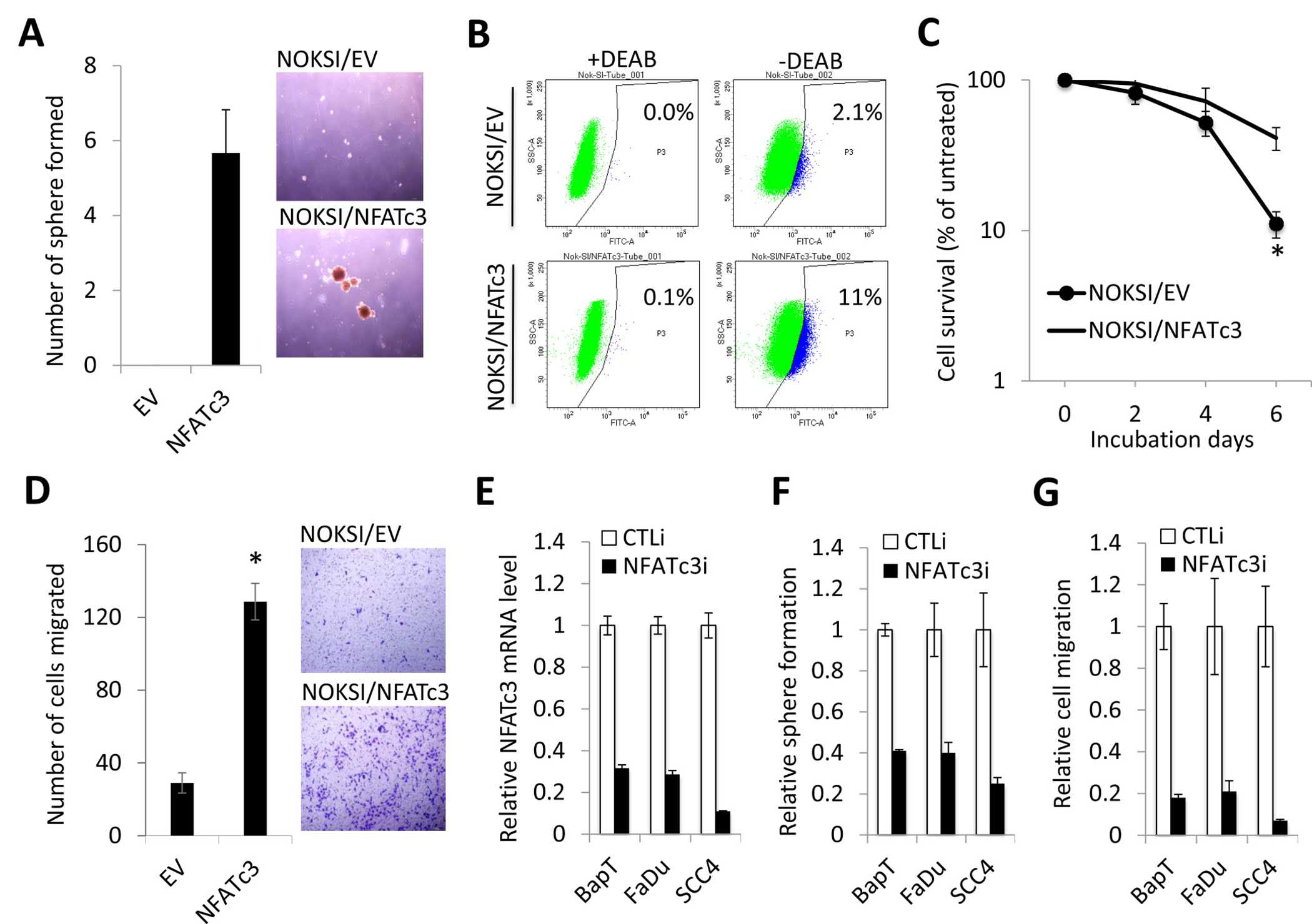 Increased NFATc3 is required to maintain CSC phenotype in OSCC.