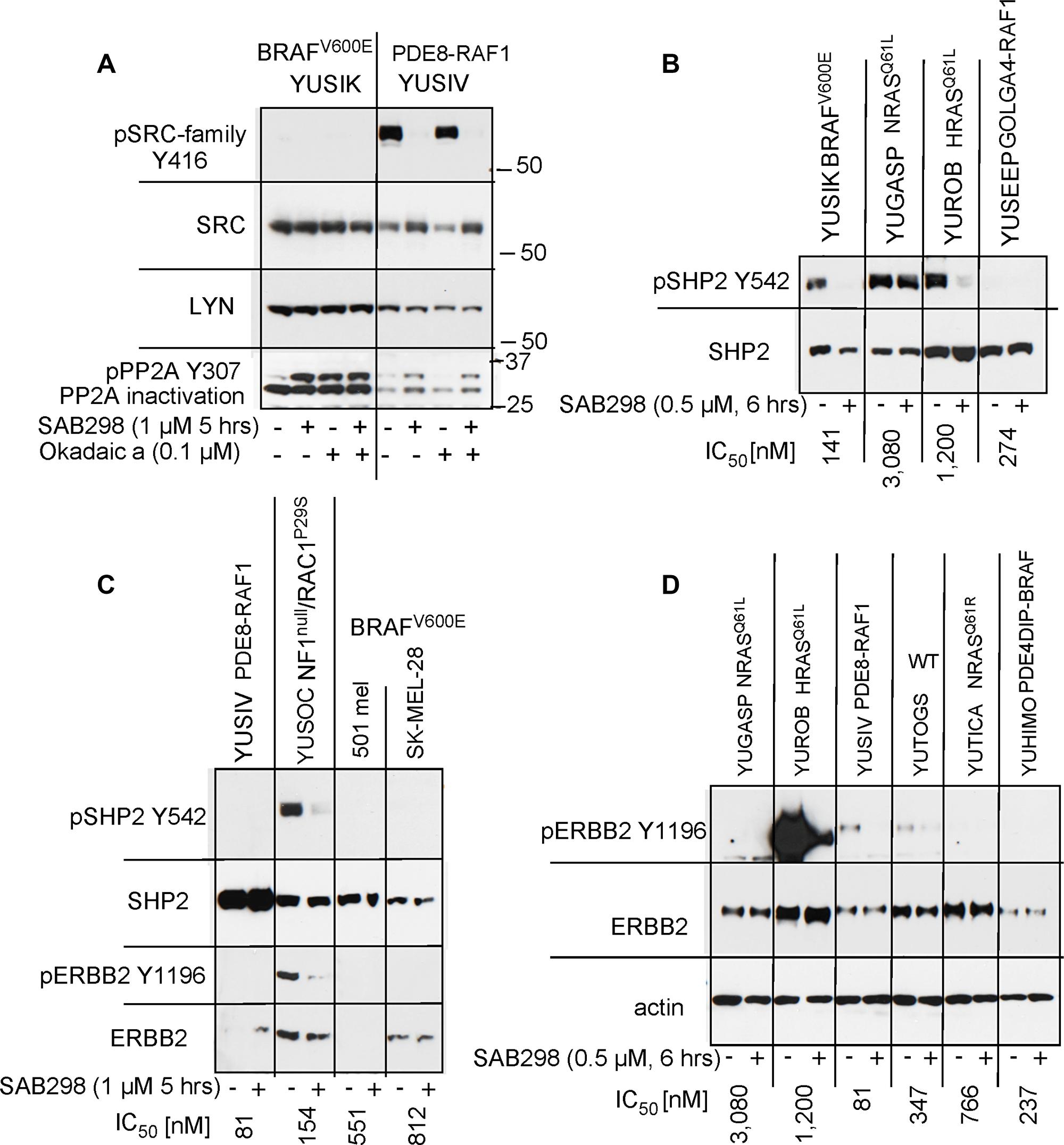 SAB298 inactivates PP2A, SHP2 via ERBB2 inhibition.