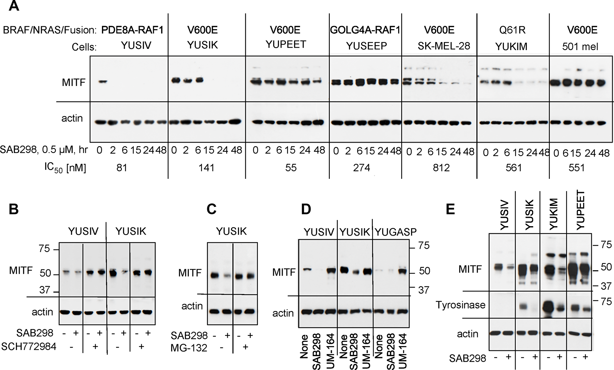 Suppression of MITF in response to SAB298.