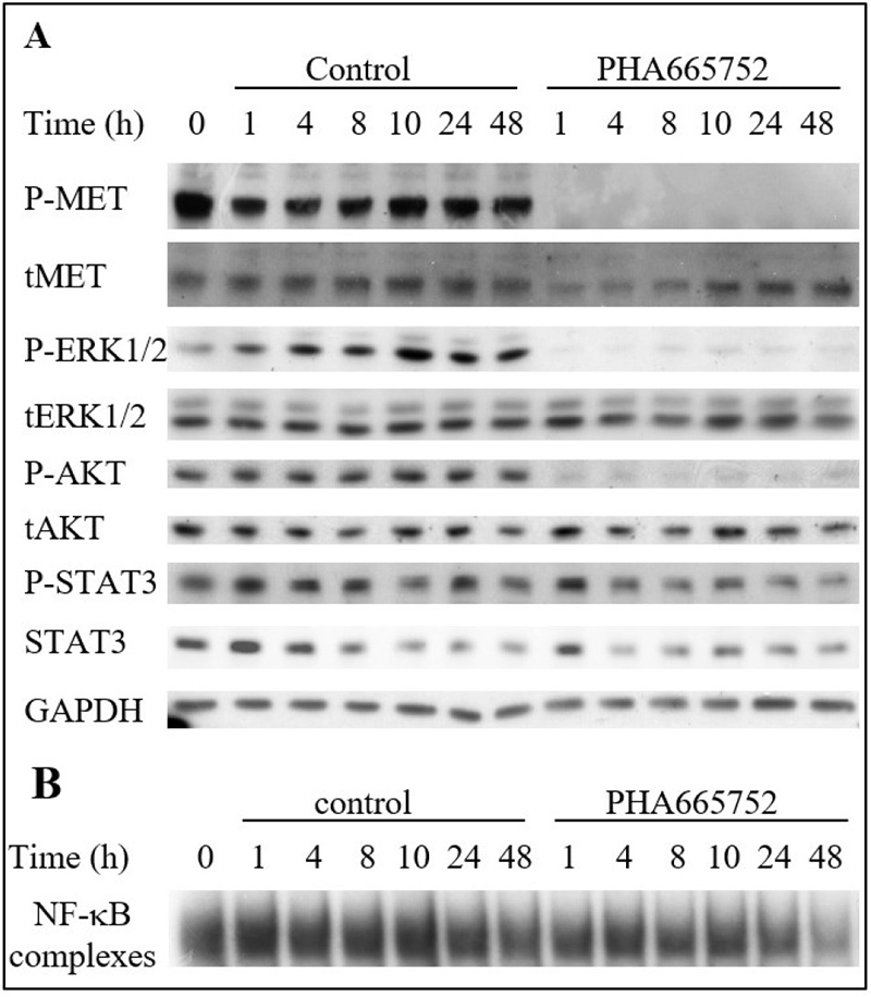 The MET inhibitor PHA665752 affects MAPK, PI3K and NF-κB pathways in the TTA1 cell line.