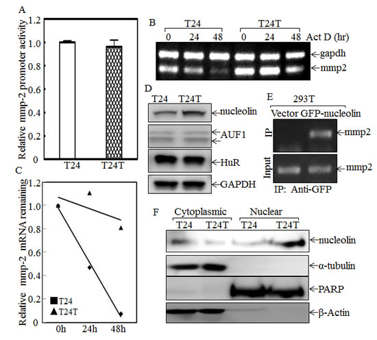 Nucleolin overexpression and nuclear translocation enhances mmp2 mRNA stability in T24T cells.