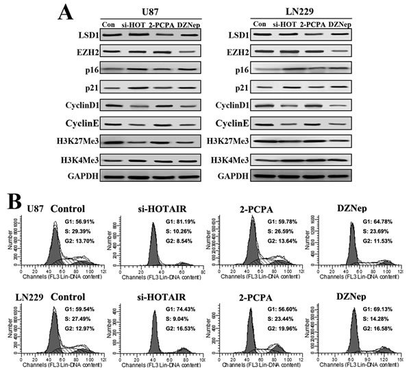 DZNep elicits similar cell cycle effects as si-HOTAIR in GBM cells.