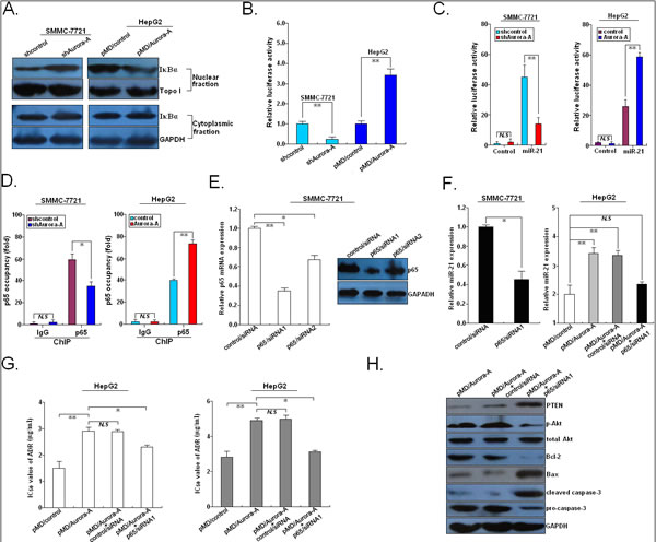 Aurora-A upregulates miR-21 transcription via NF-κB in HCC cells.