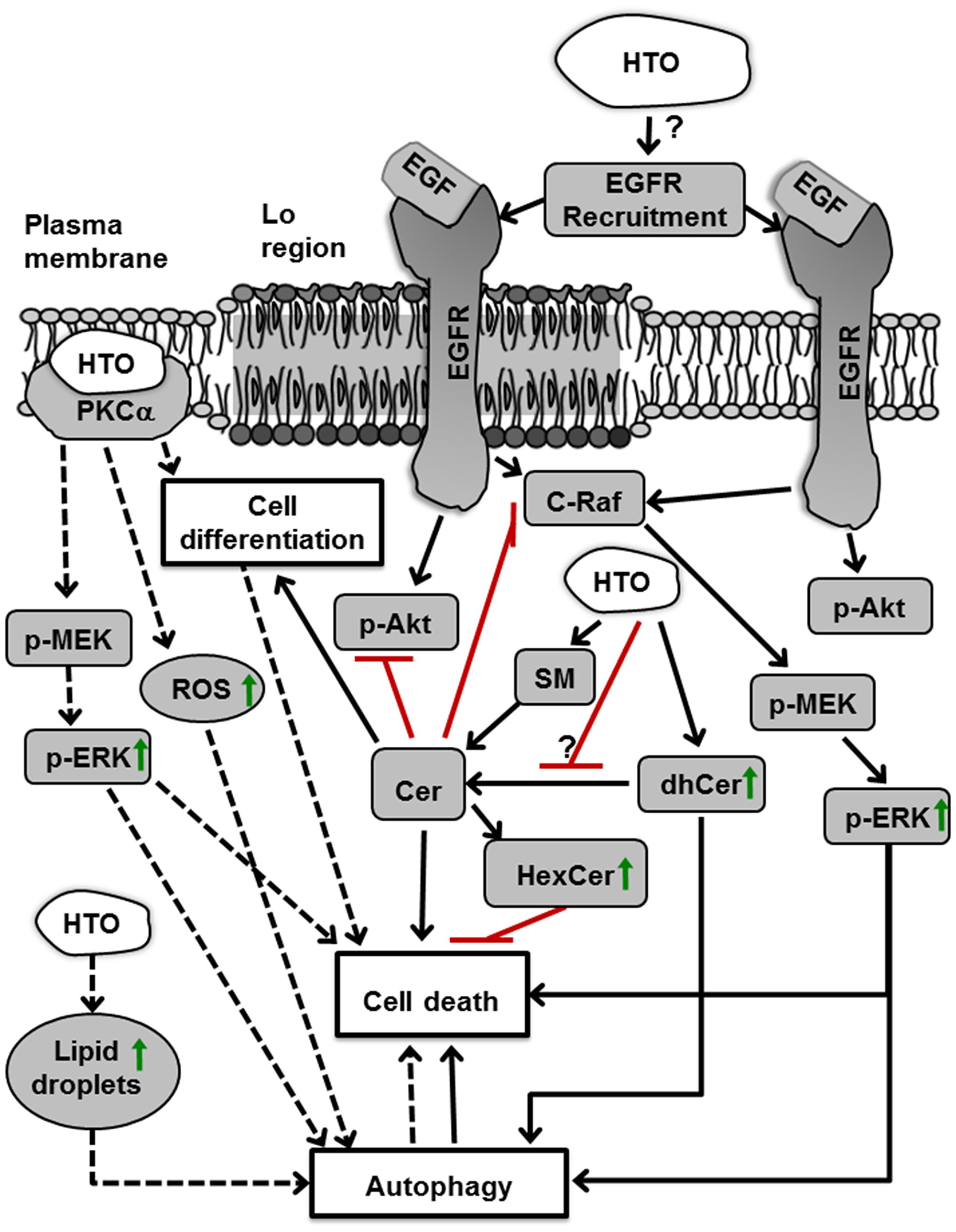 Molecular and cellular effects of HTO.