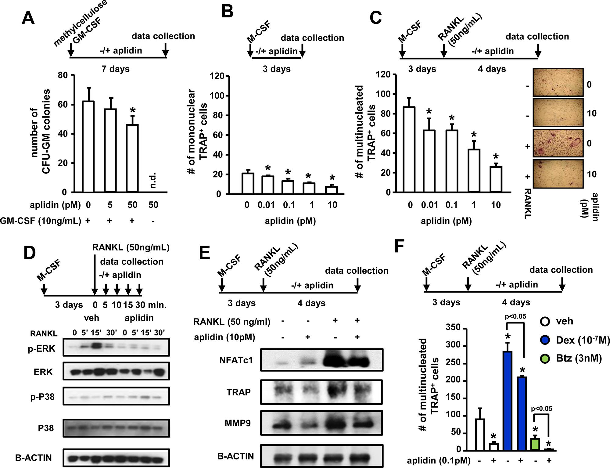 Aplidin inhibits osteoclast precursor expansion and differentiation.