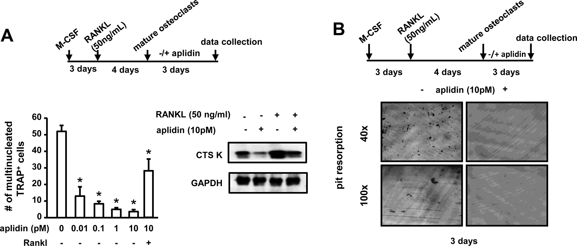 Aplidin decreases the number and activity of mature osteoclasts.