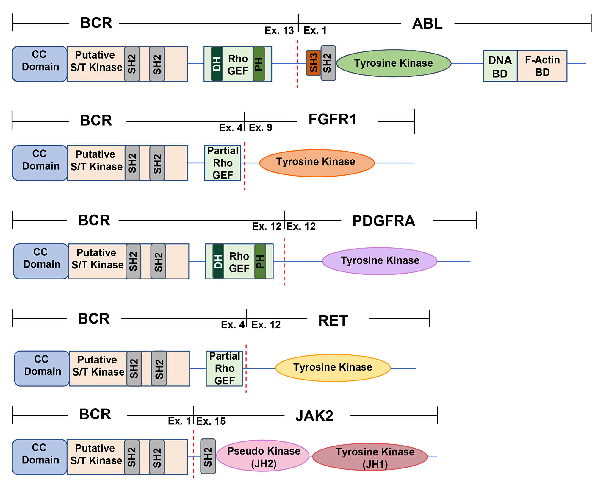A schematic representation of commonly found BCR fusion proteins.