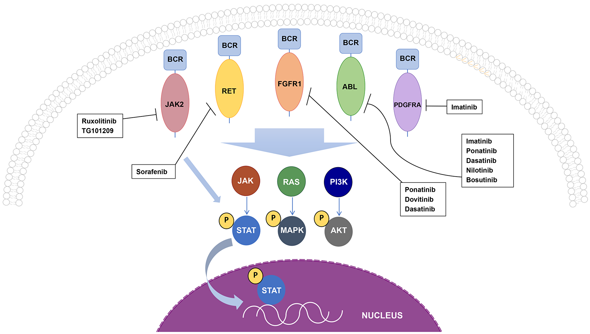 Oncogenic BCR fusion proteins and cellular signaling cascades.