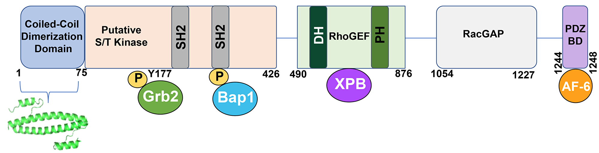 A schematic representation of the BCR protein.