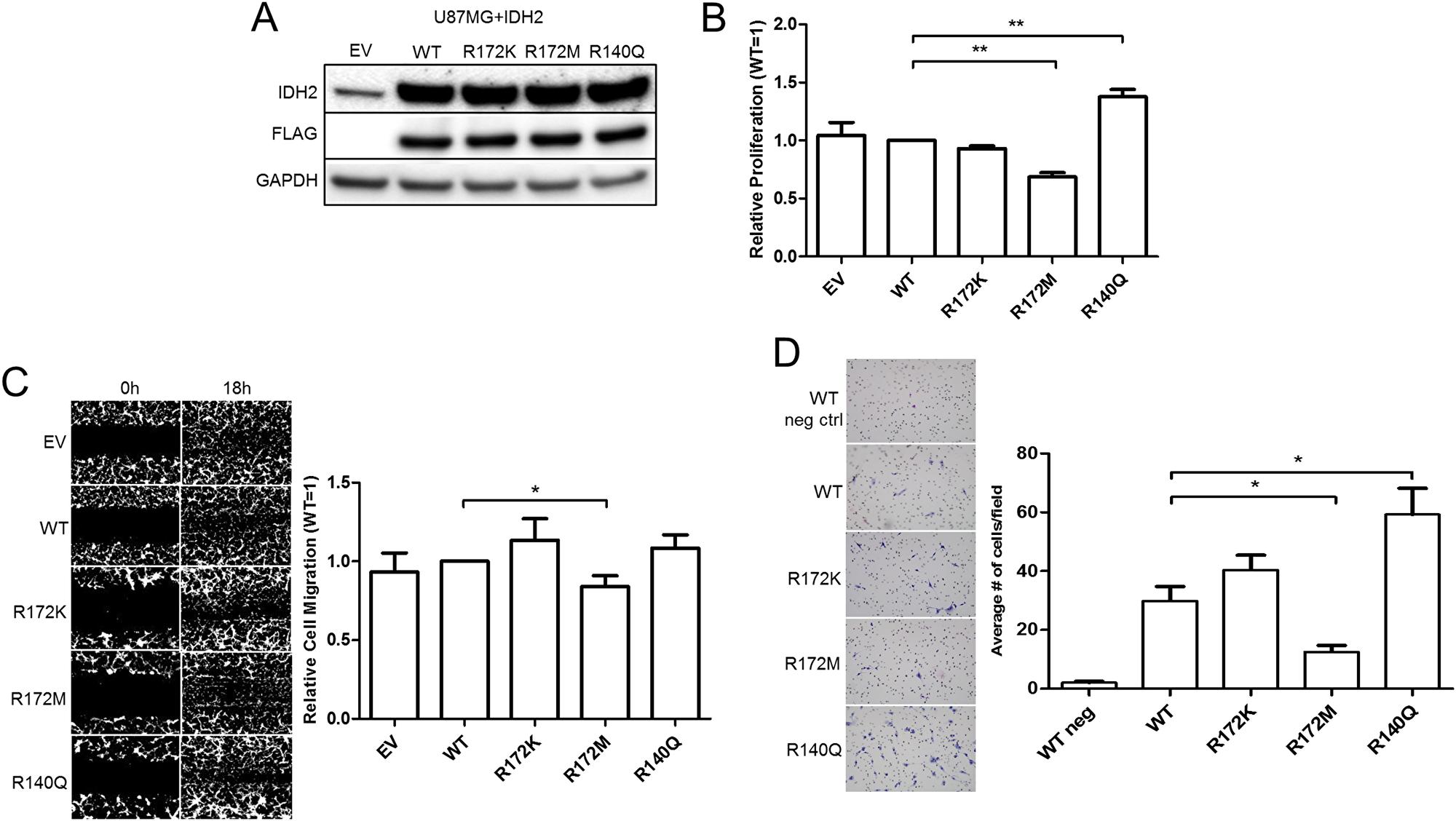 IDH2 mutations alter the tumorigenic properties of U87MG glioblastoma cells.