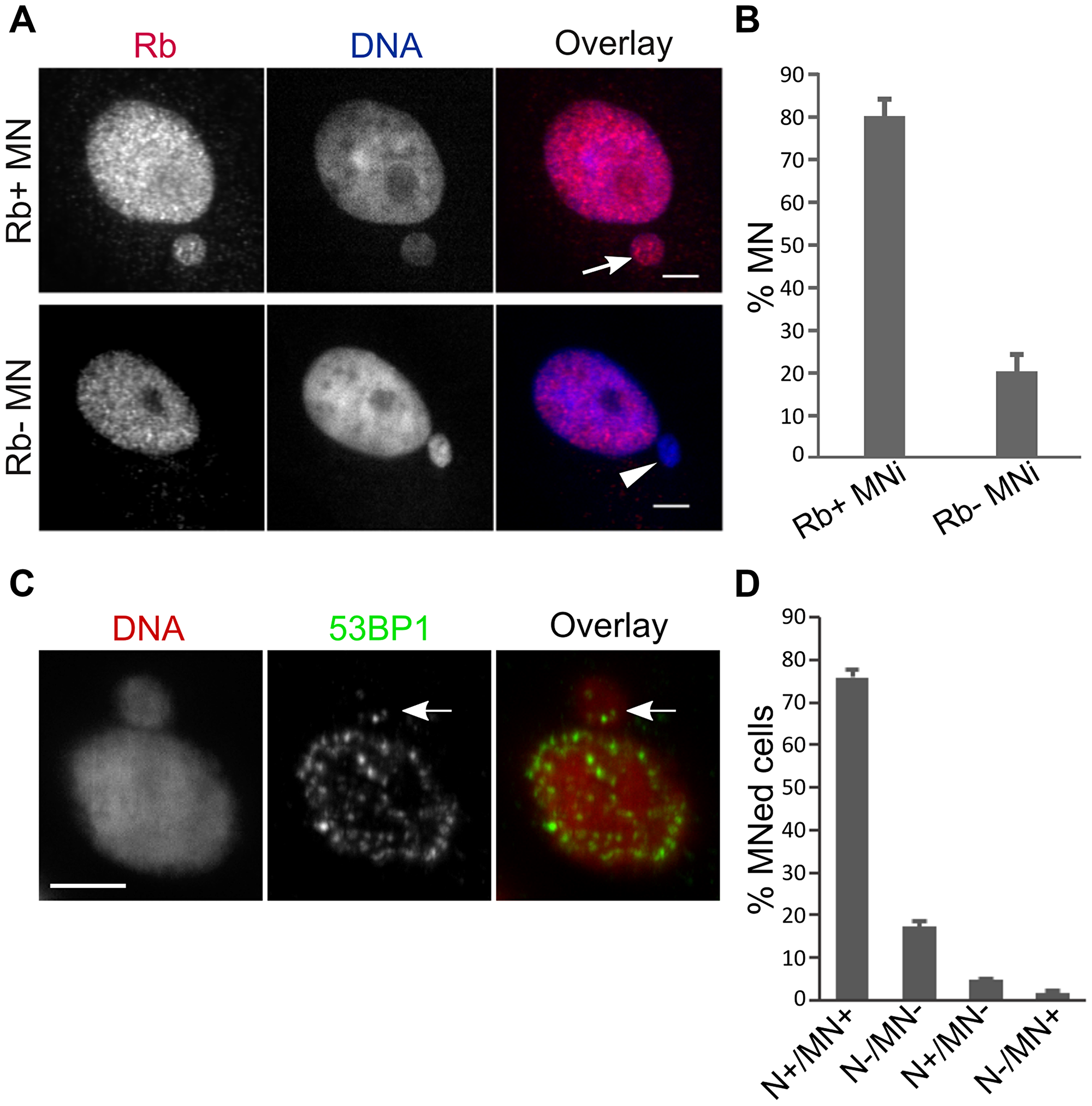 PtK1 cell MNi do not experience rupturing of the nuclear membrane and can recruit DNA damage signaling proteins.