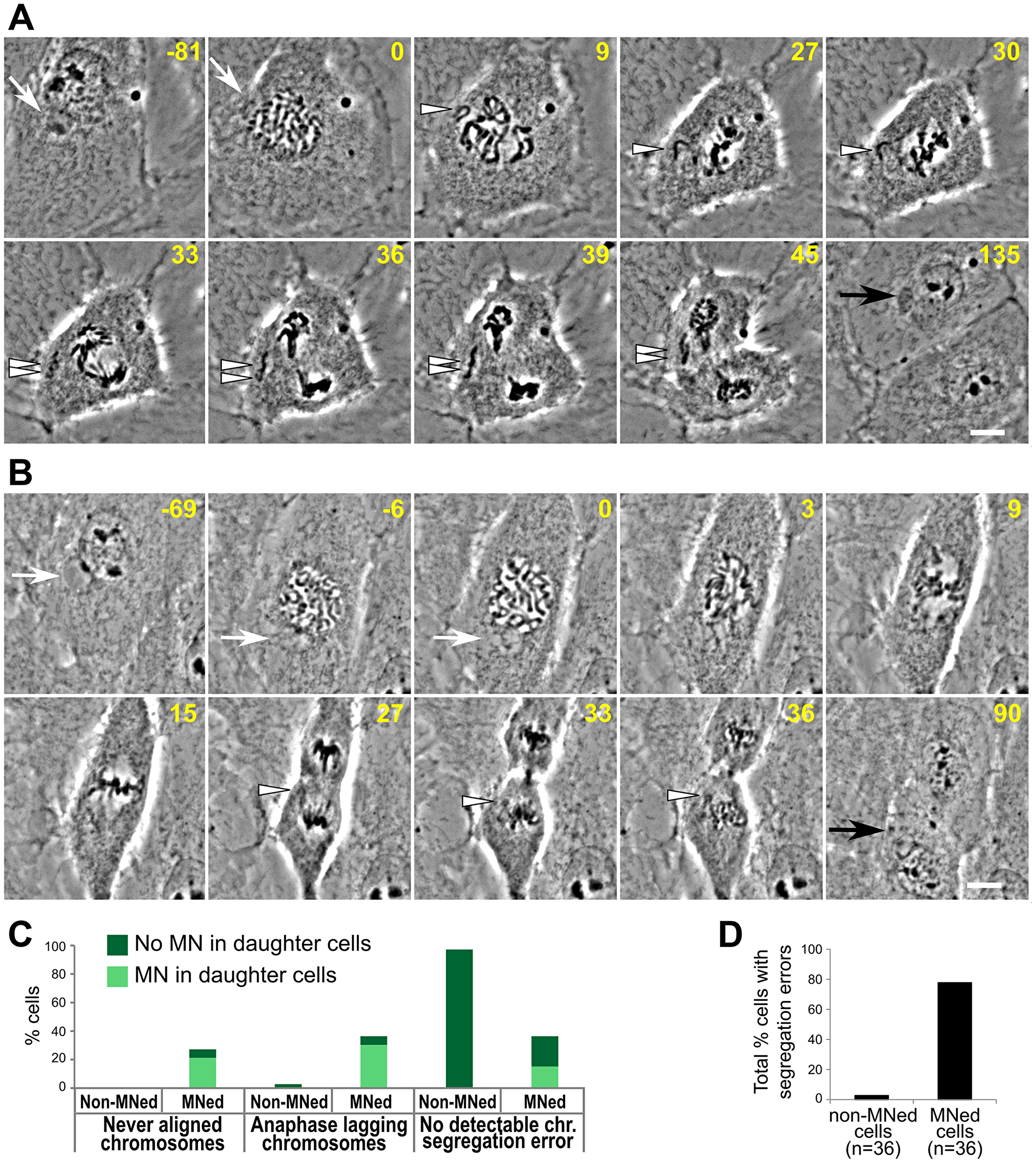 High rates of chromosome segregation errors in MNed cells.