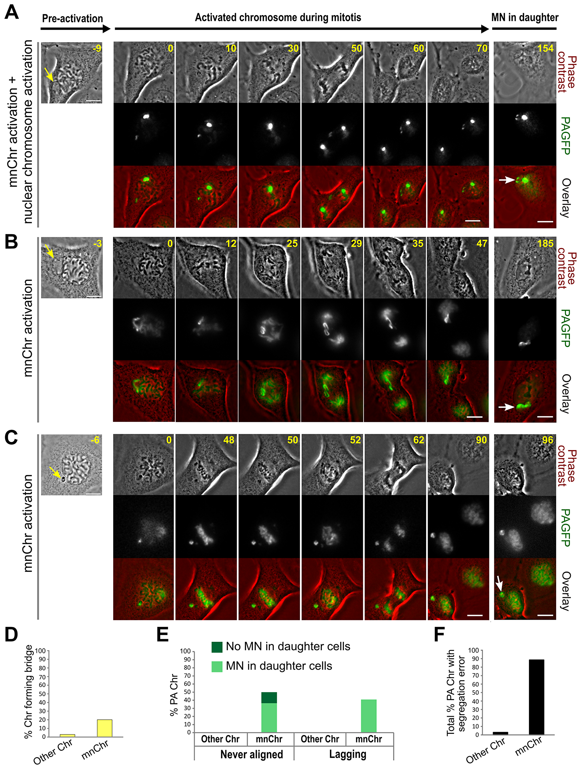 MN photoactivation shows that the mnChr is responsible for the segregation errors observed in MNed cells.