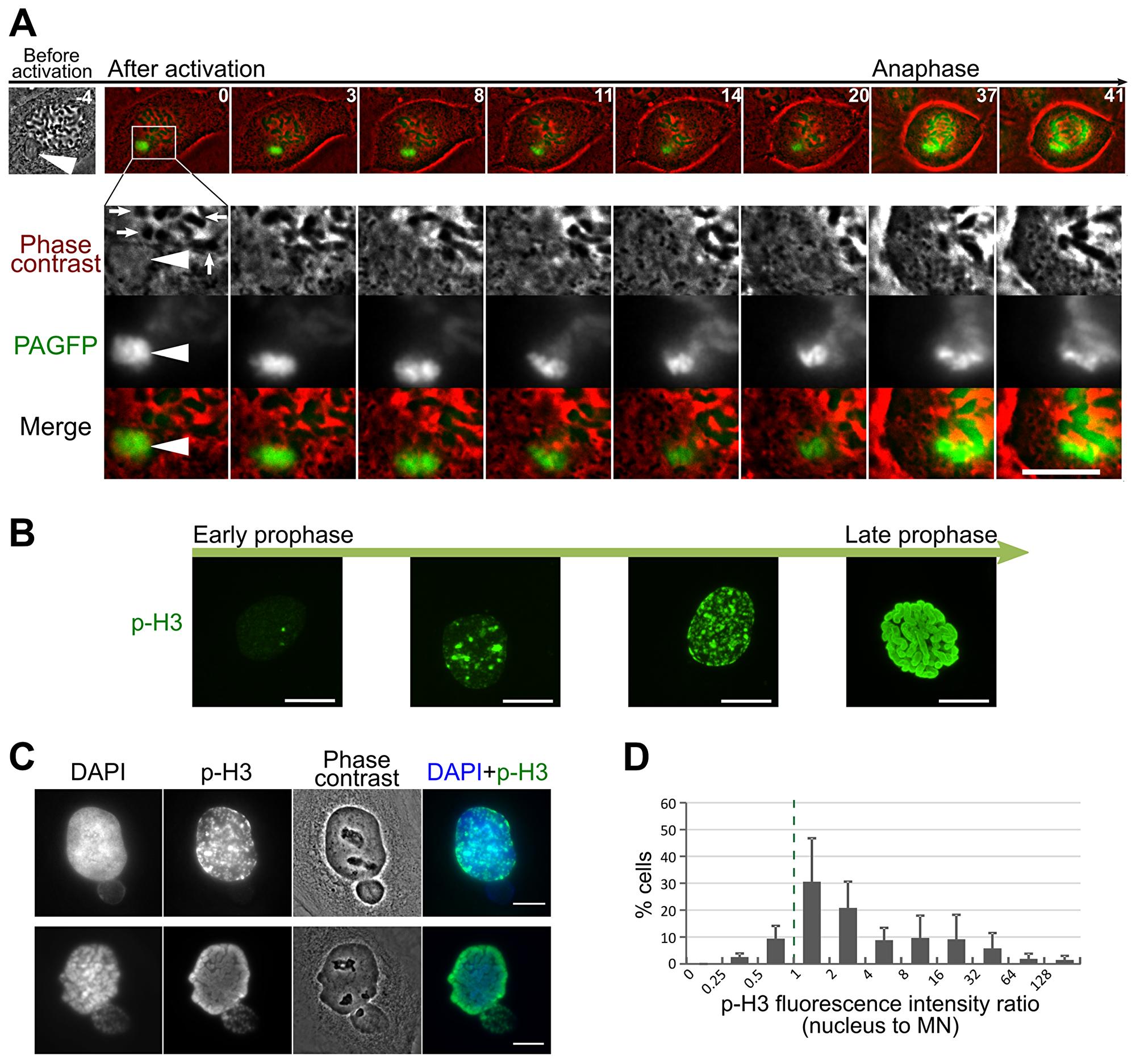 Delayed chromosome condensation of mnChrs.