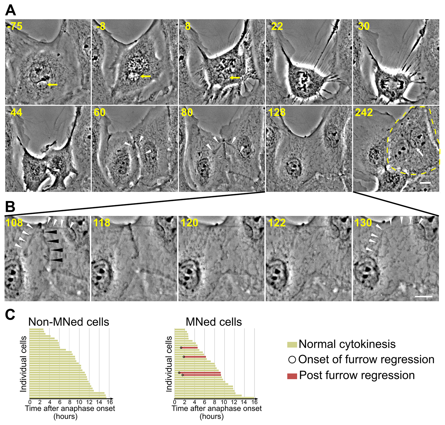 Furrow regression and tetraploidization in MNed cells.