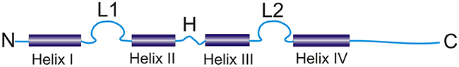 Schematic illustration of the typical structure of the S100 protein (L1 and L2: calcium-binding loops, H: hinge region, N and C: N- and C-terminals) (modified from Donato R [8]).