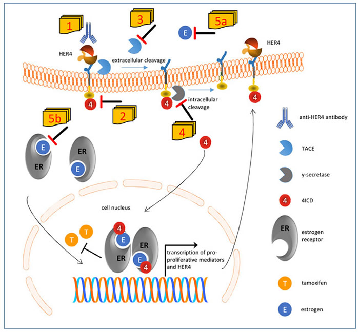 Suggested model of impaired tamoxifen treatment in the presence of HER4 receptor expression and activation and conceivable therapeutic interventions.