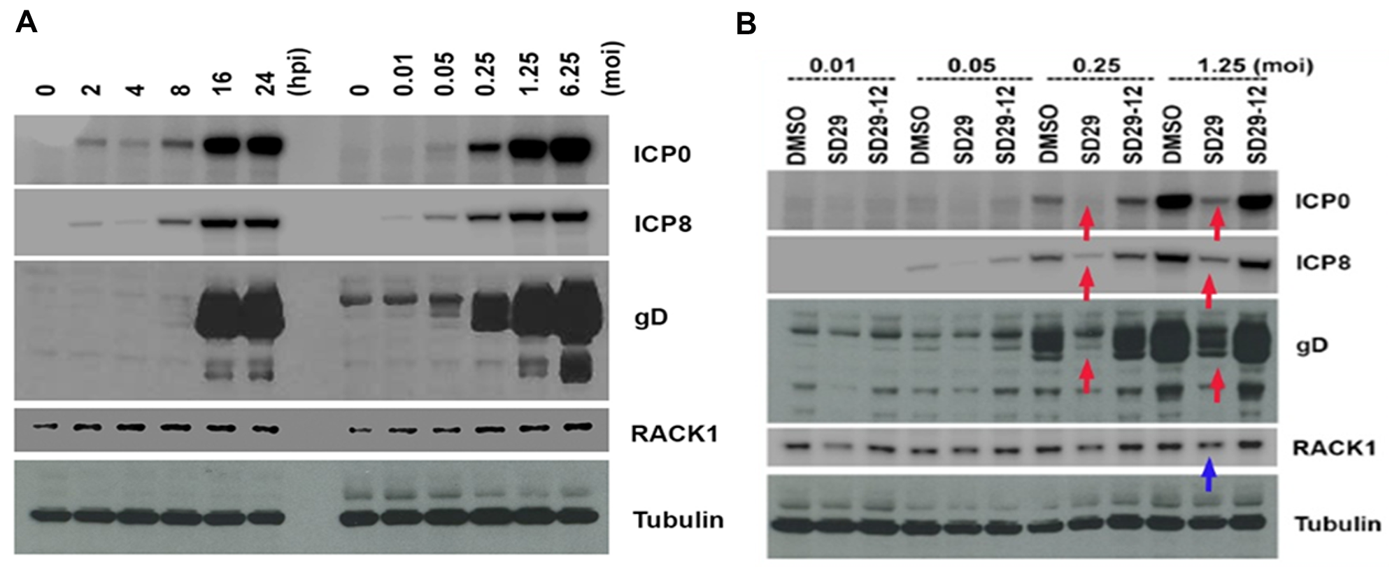Effects of the compounds on HSV-1 protein expression.