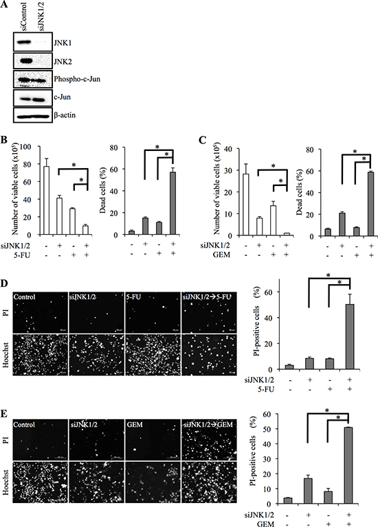 siRNA-mediated JNK knockdown sensitizes pancreatic cancer stem cells to 5-fluorouracil and gemcitabine.