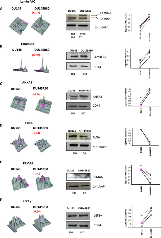 Validation by 1-D Western blot of protein identified as differentially expressed in the 2-DE DIGE/MS analysis.