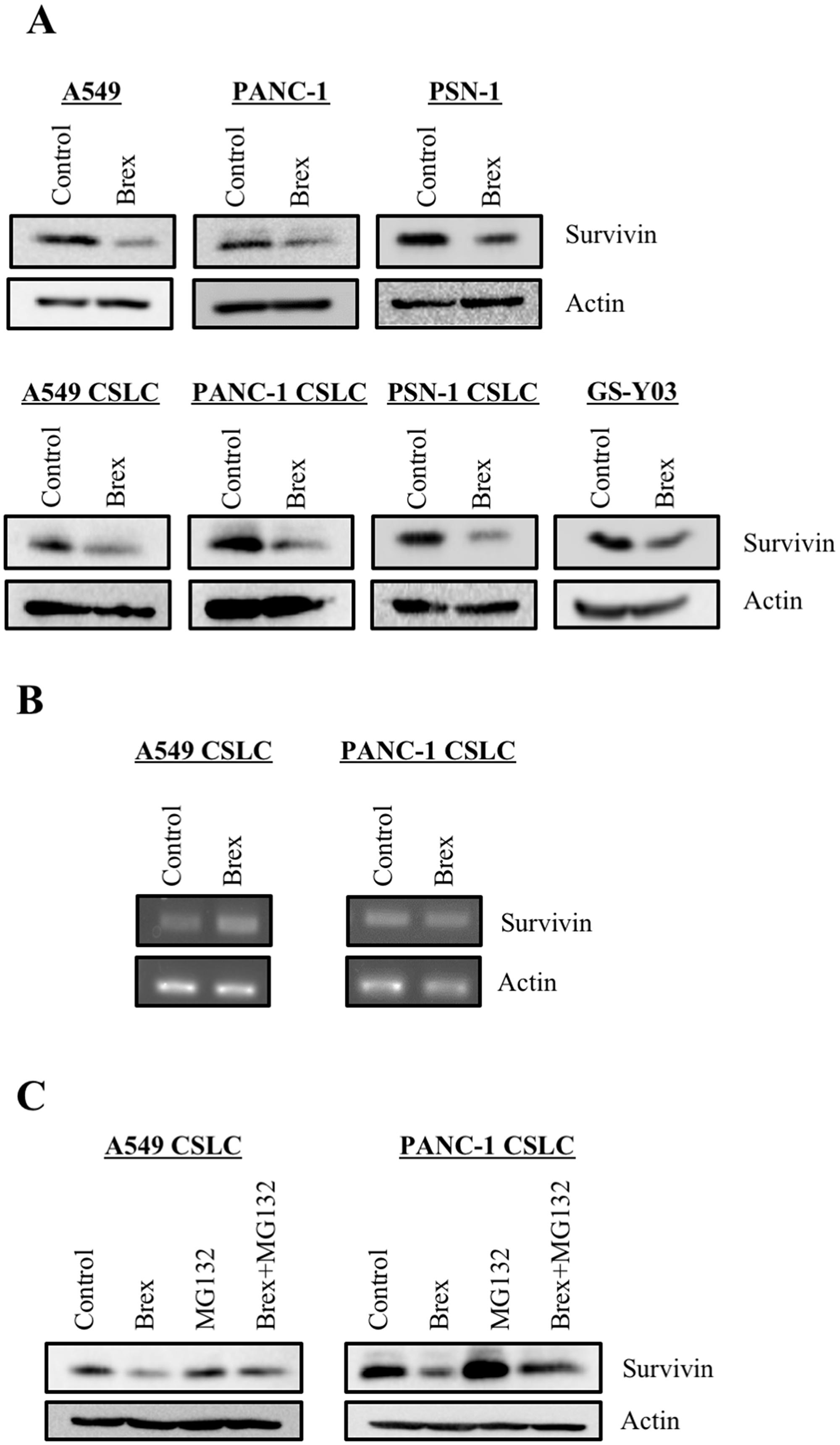 Brexpiprazole reduces the expression of survivin.