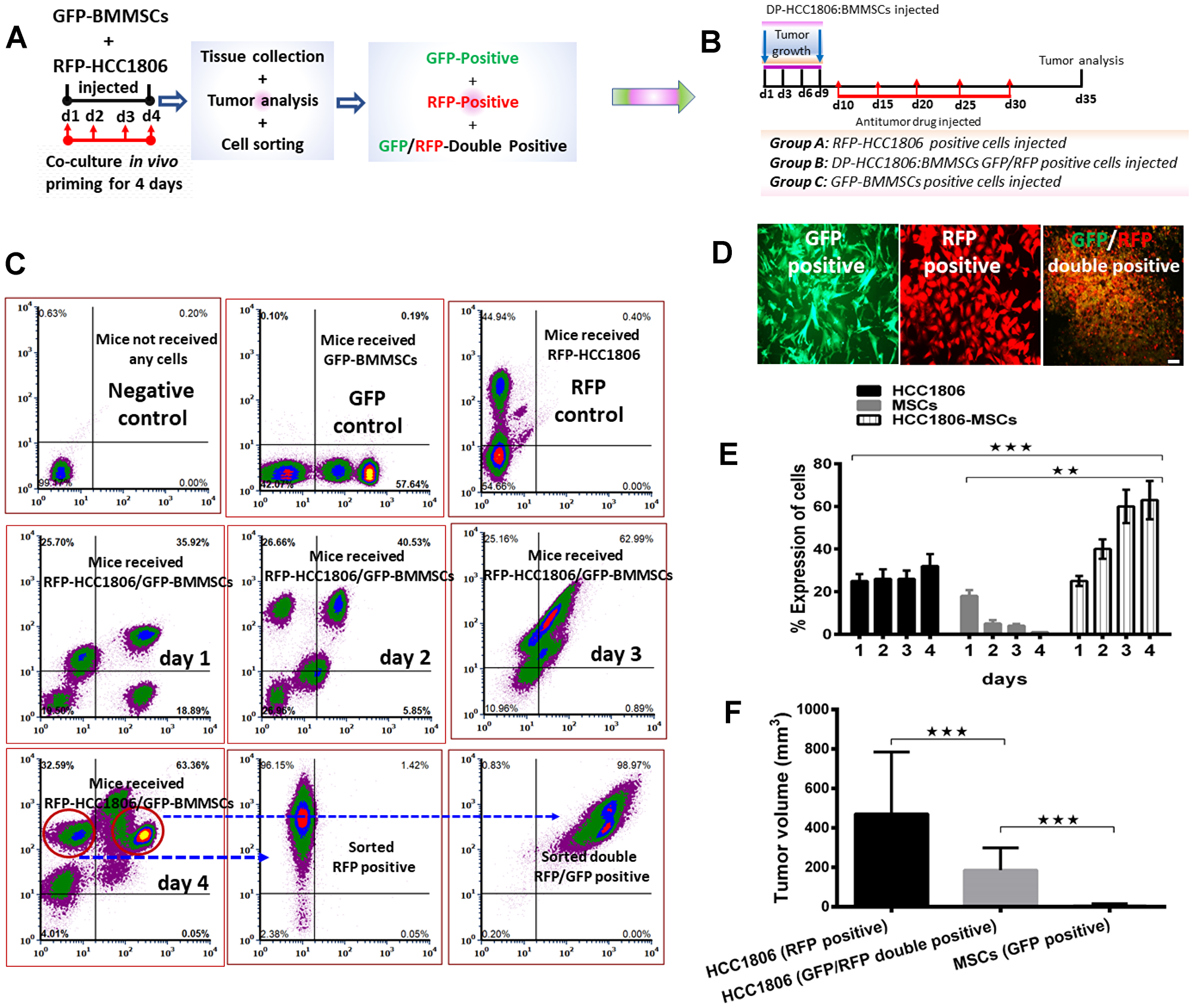 FACS-sorted GFP/RFP-double positive cells from HCC1806:BMMSC xenografts reduced tumor volume in vivo.