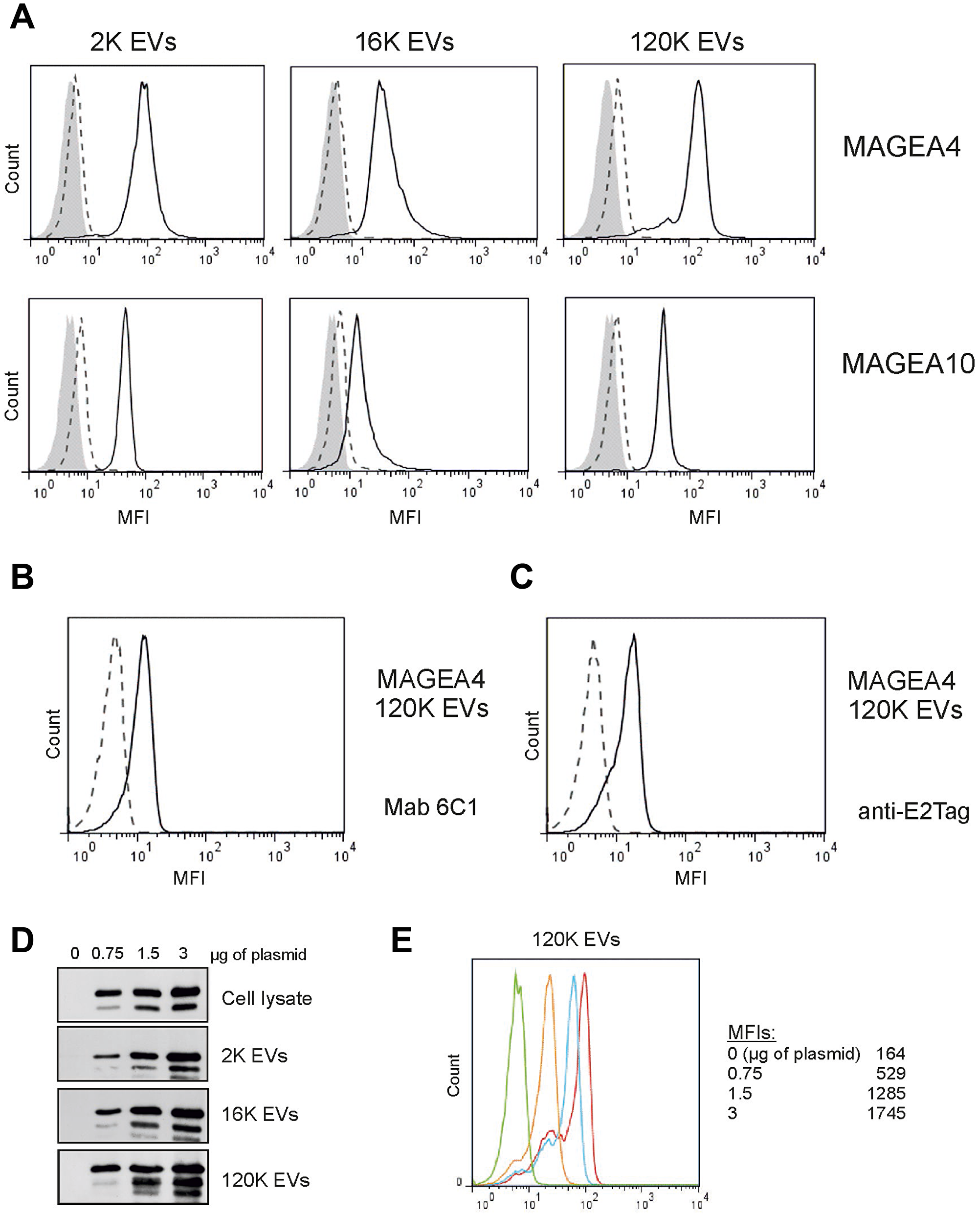 MAGEA proteins are expressed on the surface of EVs.