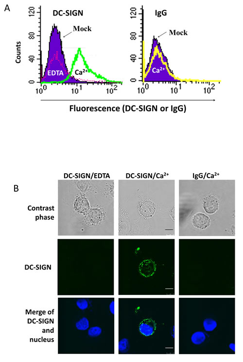 Expression of DC-SIGN ligand(s) on NPC cell surface.