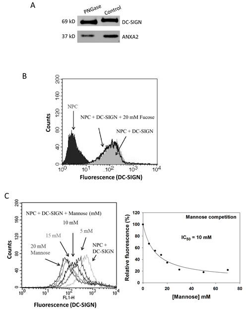 Involvement of glycans on NPC cells in binding DC-SIGN.
