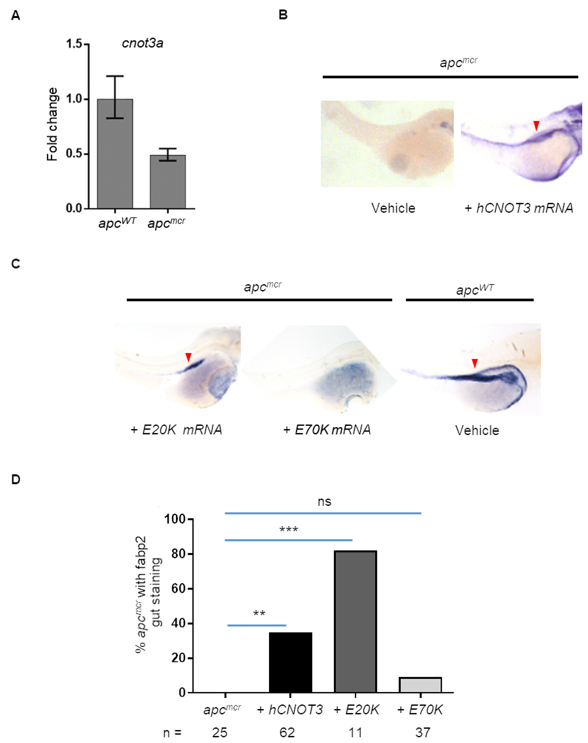 Human CNOT3 rescues intestinal defects in zebrafish apcmcr embryos.