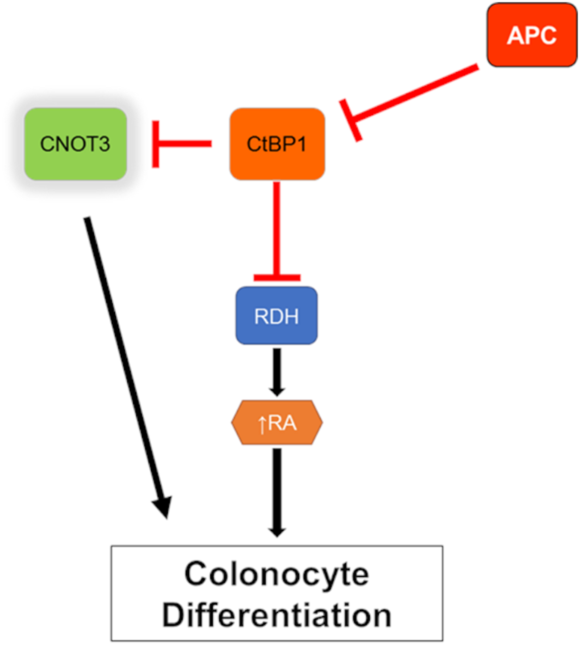 Model of CNOT3 involvement in intestinal differentiation.
