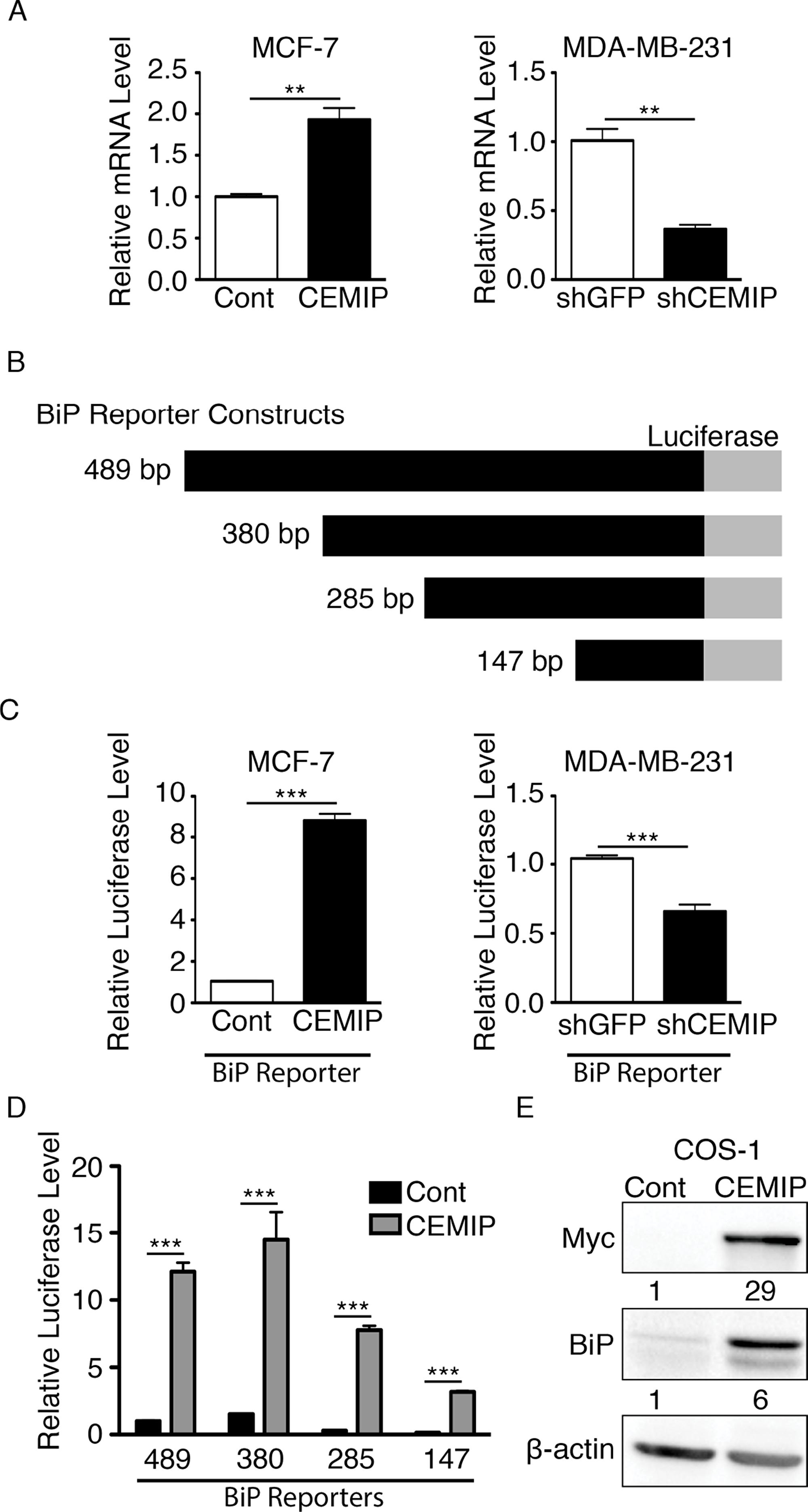 CEMIP upregulates BiP transcription through a minimal BiP promoter region.