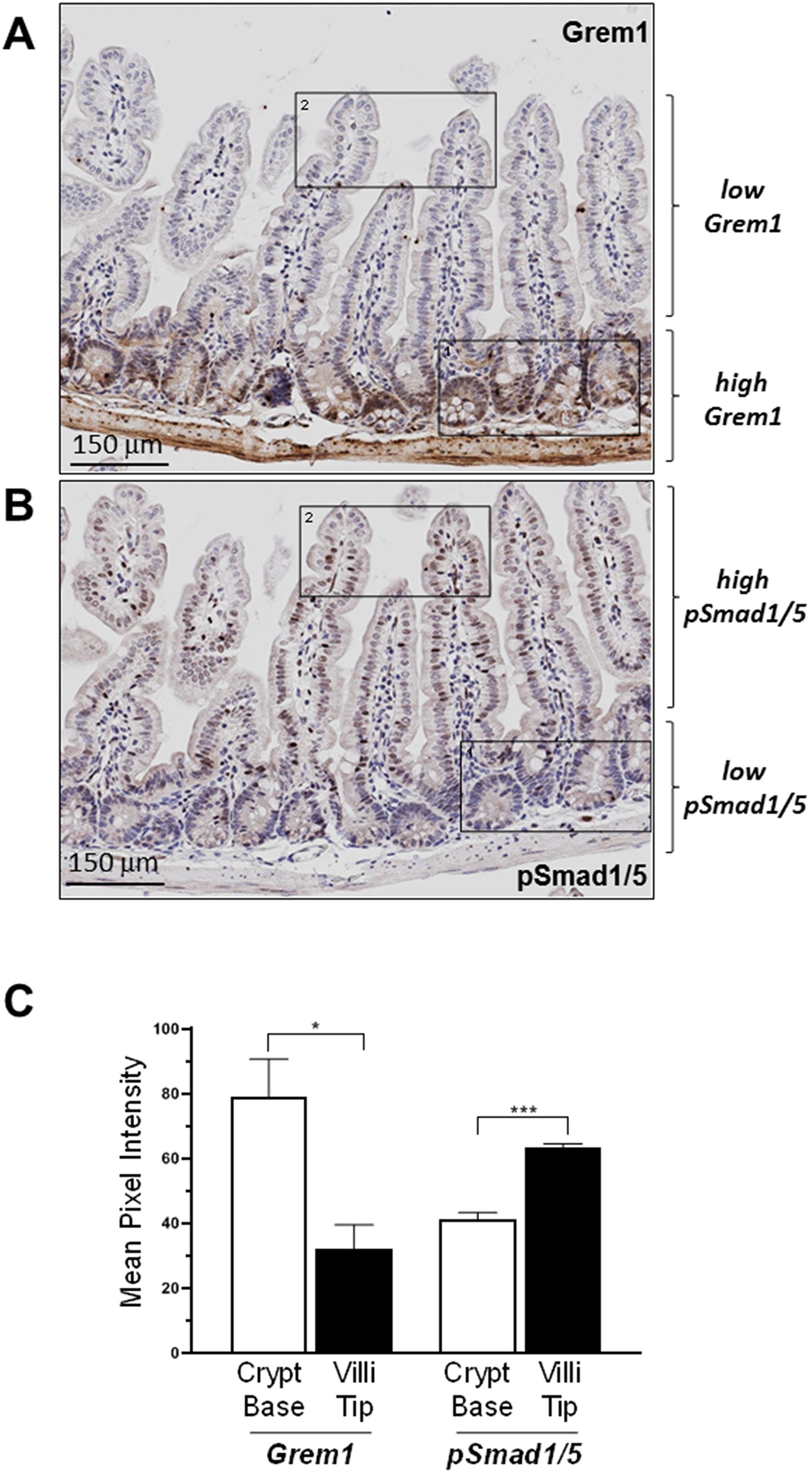 Inverse relationship between expression of Grem1 protein and pSmad1/5 staining in mouse intestine.