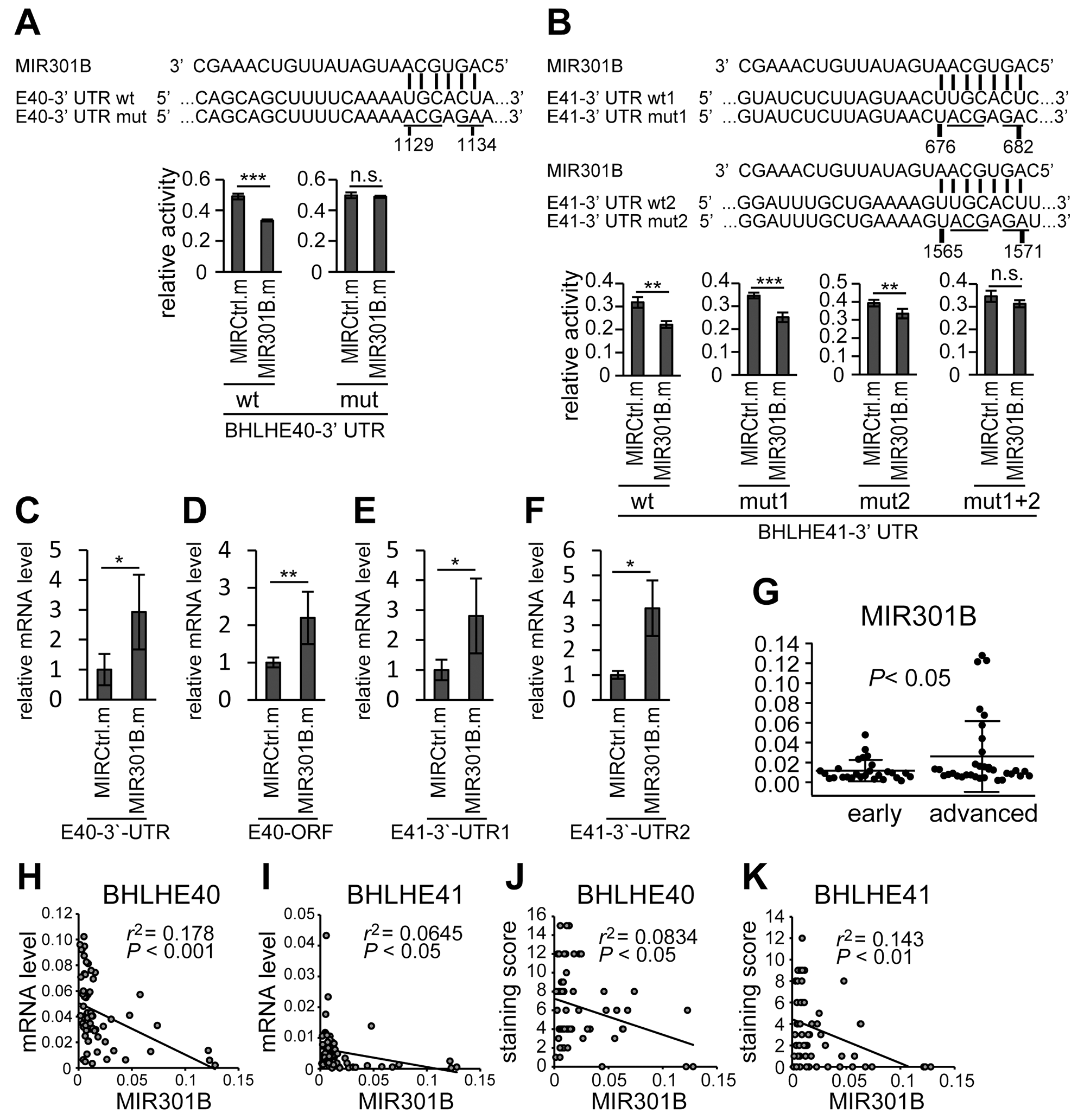 3'-UTRs mediated regulation of BHLHE40/41 expression by MIR301B