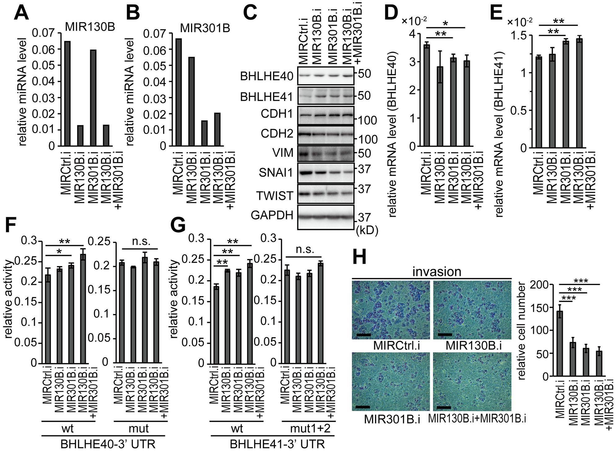 Inhibition of MIR130B and MIR301B enhanced the protein expression of BHLH40/41 and suppressed EMT in EC cells
