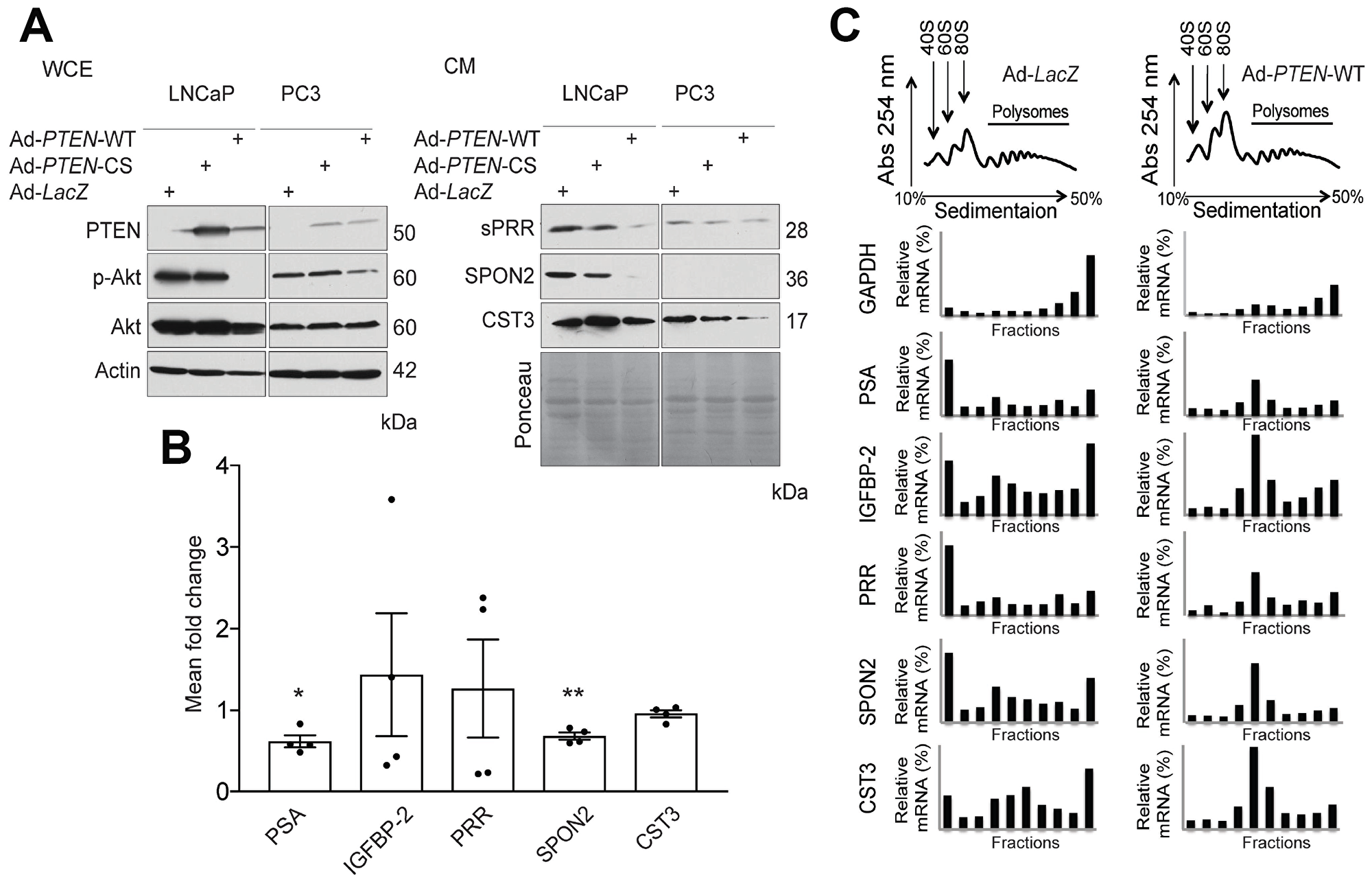 PTEN regulates expression of secreted factors at the translational and transcriptional levels.